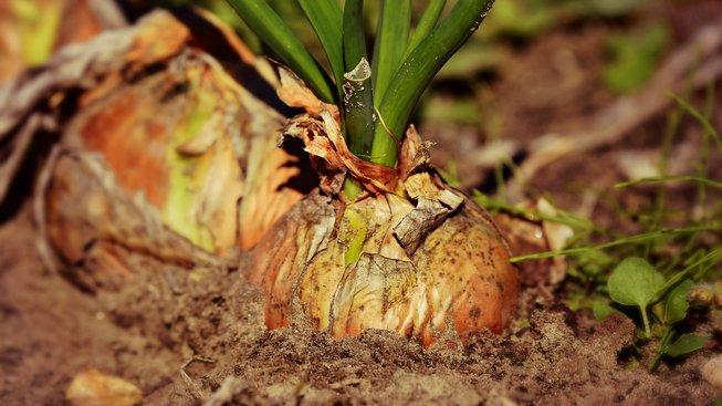 onion-3706937_1920