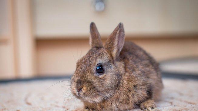 dwarf-bunny-2304450_1920