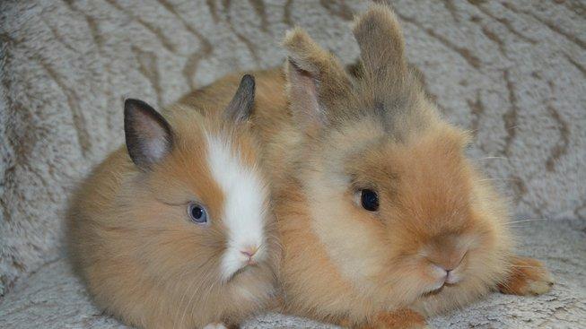 Námluvy zakrslých králíčků