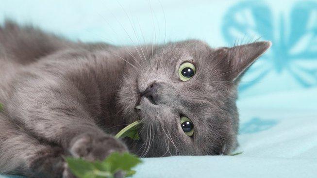 Kočičí kokain: Proč kočky tak milují šantu