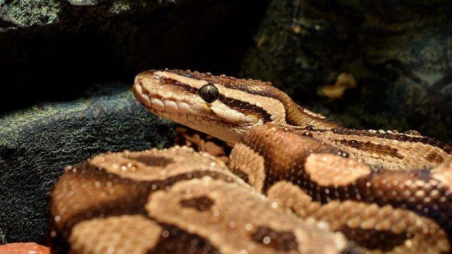 snakehead-3235601_1280