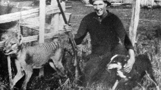 918015-wilf_batty_last_wild_thylacine-653x367