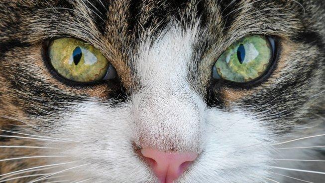 Jsou barvoslepé a předou spokojeností, aneb nejčastější mýty o kočkách