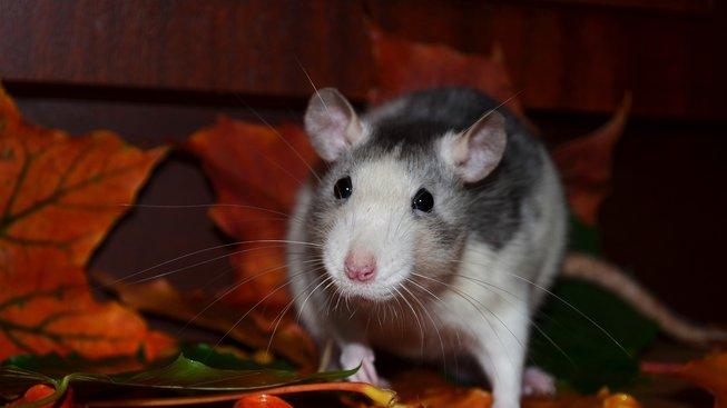 Potkan je skvělé zvíře, při výběru však buďte opatrní