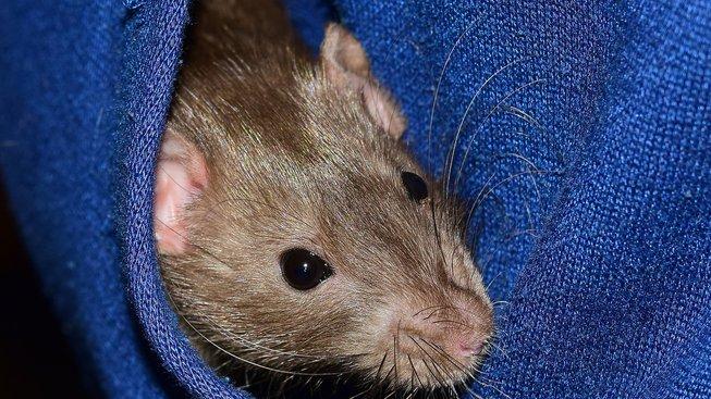 rat-1939517_1920