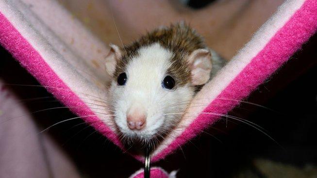 Hostina pro potkany: Co jim chutná a co je může zabít?