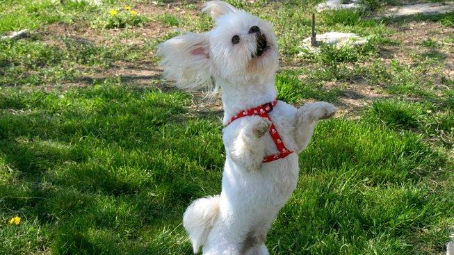 Jak psi přišli na chuť tanci