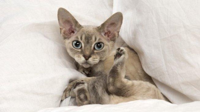 Pudlí kočka si vás omotá kolem prstu