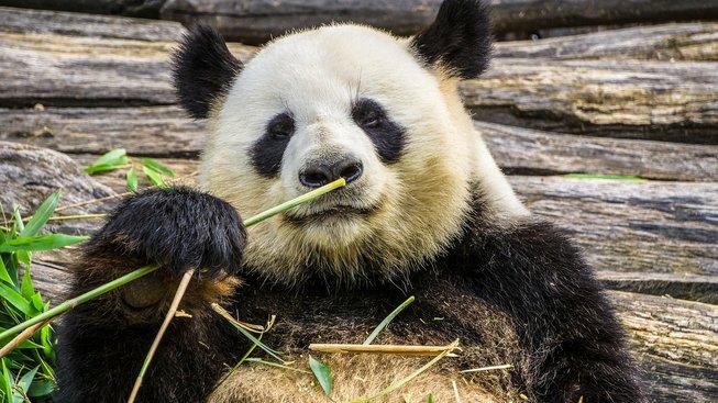 Bambus nebyl vždy základní potravou pand. Co jedly?