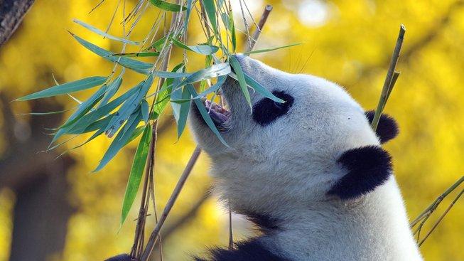 panda-4421395_1280