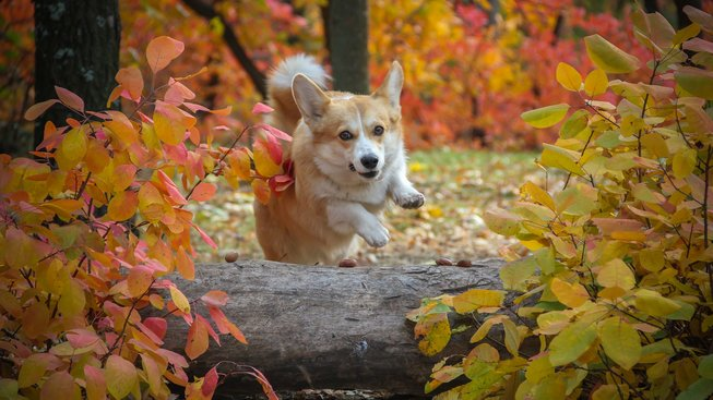 Návykový pes, který okouzlil i britskou královnu