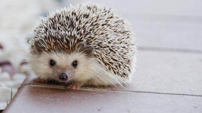 hedgehog-1215140_1280