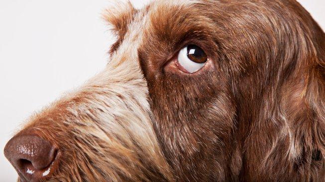 Suchý čenich značí nemoc? Aneb nejrozšířenější mýty o psech