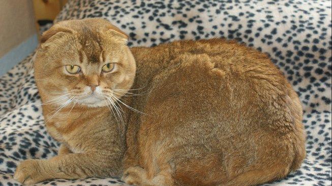 Kočka, která vypadá jak sova
