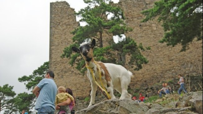 I koza může být mazel, nenechte se však napálit