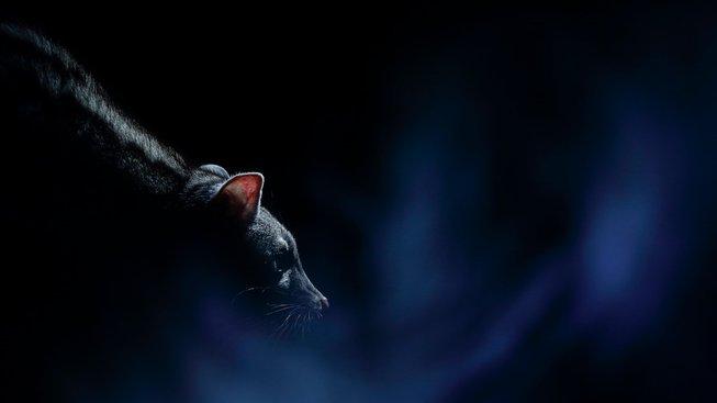 Chcete něco mezi kočkou a fretkou? Pořiďte si ženetku!