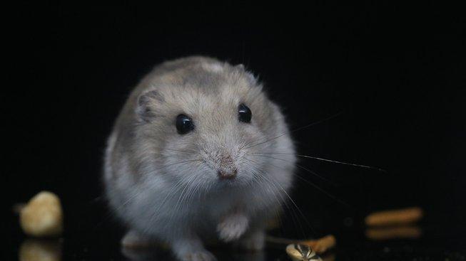 hamster-3528444_1280