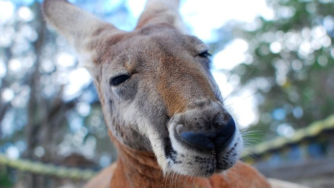 Jak dlouho už skotačí klokani v Austrálii?