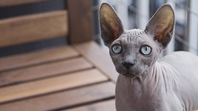 Kočka, kterou buď milujete, nebo nesnášíte