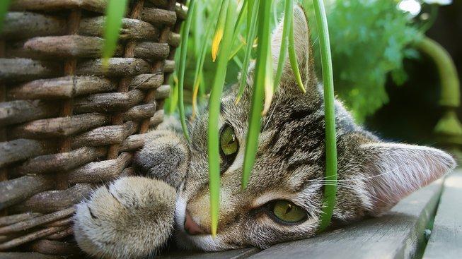 Lupení, na kterém si kočka ráda smlsne