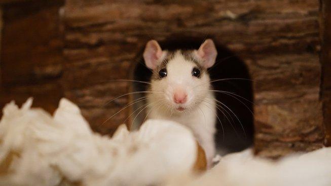Jak vytvořit ideální domov pro morče nebo potkana