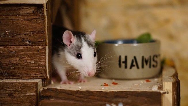 rat-1759488_1280
