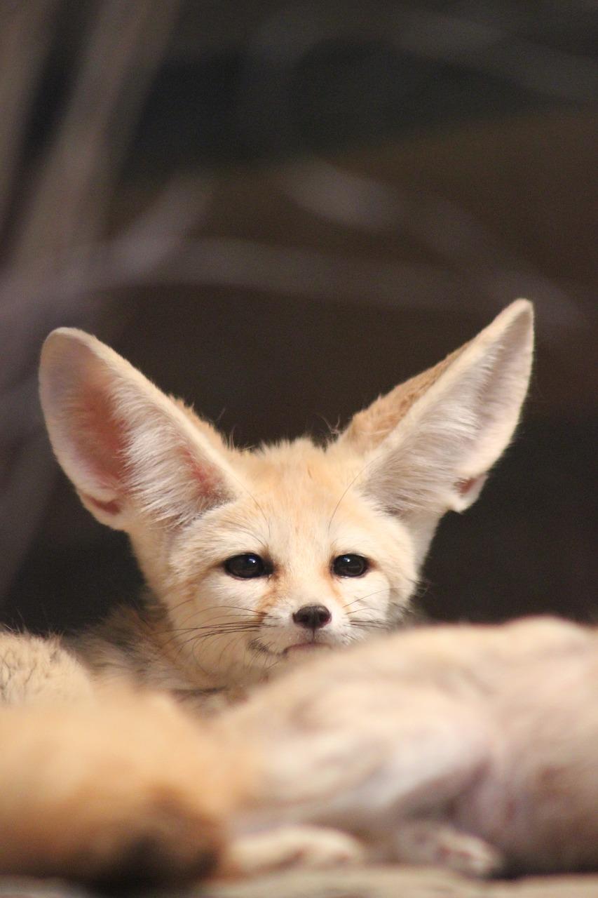 fennec-fox-4161093_1280