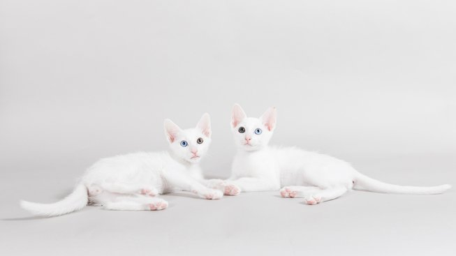 Khao Manee - kočka s diamantovýma očima