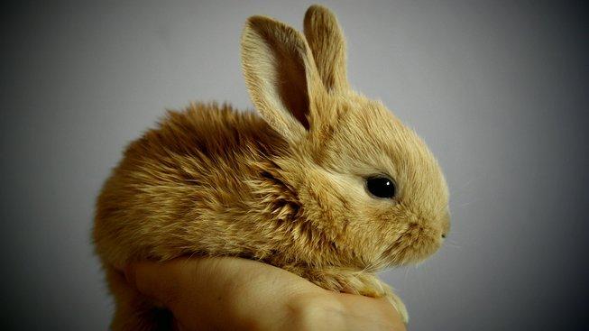 Jak pečovat o králíčka, který zůstal bez mámy