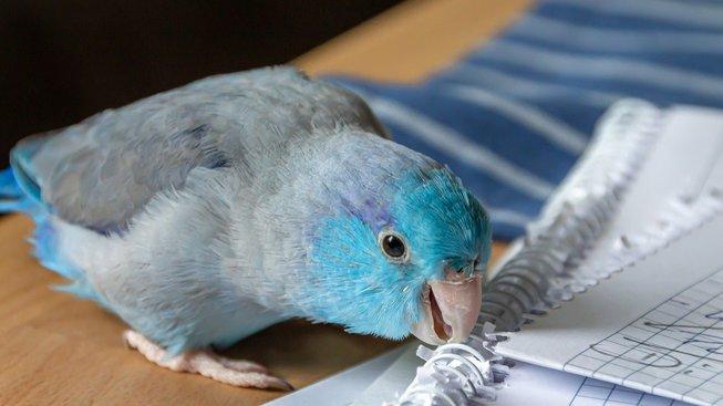 Kdy si lidé ochočili papoušky?