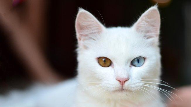 Záhady a taje složité kočičí genetiky: Proč jsou bílé kočky hluché a kocouři zrzaví?