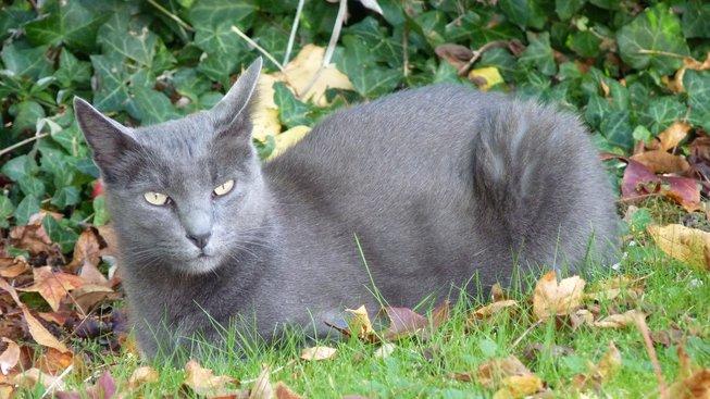 Korat – elegantní kočka v barvě štěstí