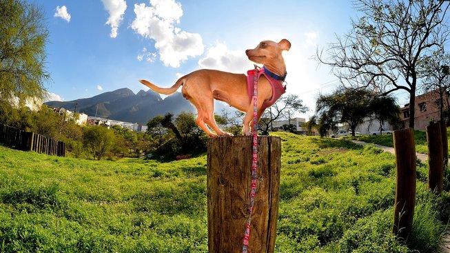 Jak ze sebe malí psi dělají větší?