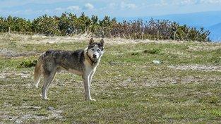 Psi do Ameriky zřejmě přišli ze Sibiře, naznačovala by to i příbuznost některých plemen - například sibiřský a aljašský husky