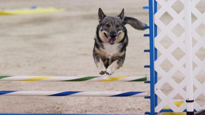 Lesní pes: Malý, ale šikovný