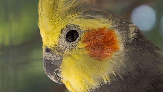 Korela: Hodný a chytrý papoušek-kamarád