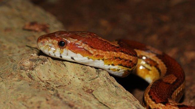 Užovka: Nenáročný had pro začátečníky