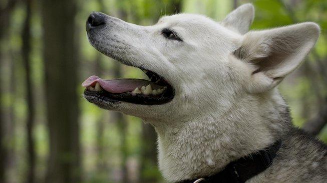 Činuk: Pes, kterého pořádně nezná ani Google