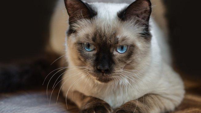 Ragdoll - sympatické modroočko, co se chová jako pes