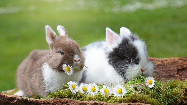 Víc králíčků v kleci: Jak zabránit bojům i množení