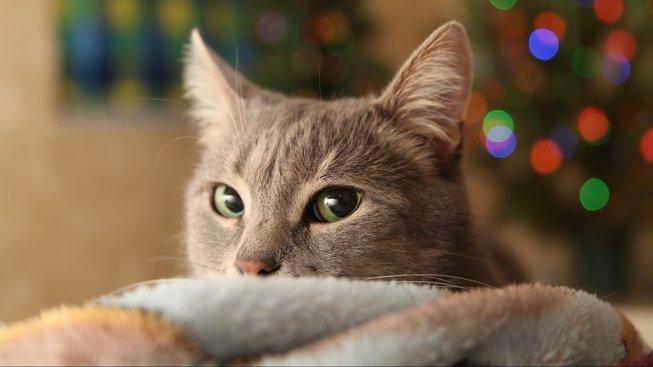 Islandská vánoční kočka - zvíře, které byste potkat nechtěli