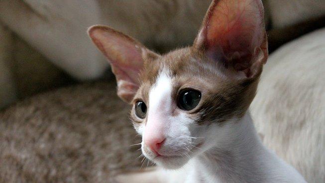 Štíhlá kočka, která má páru