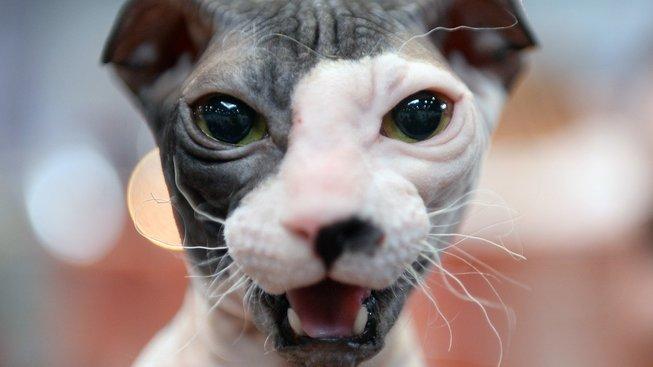 Podivná lysá kočka s nevlídným výrazem