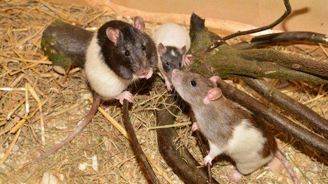 Holí, kudrnatí i heboučtí. S potkaní srstí není nuda