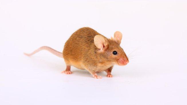 Co je to agouti potkan?