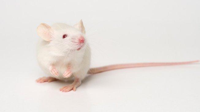 Potkan, který má pořádné uši