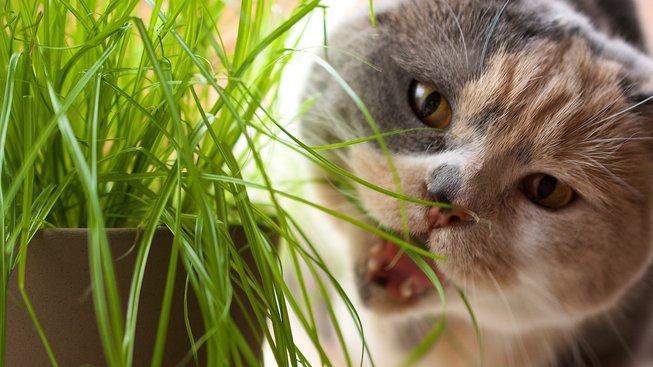K čemu slouží kočičí tráva?