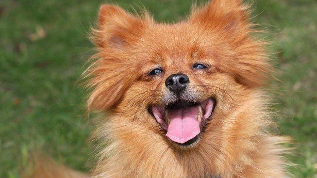 Psí lištička, která se ráda dělí o svou radost