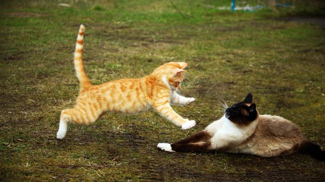 Jak vyřešit nepřátelství mezi vašimi kočkami