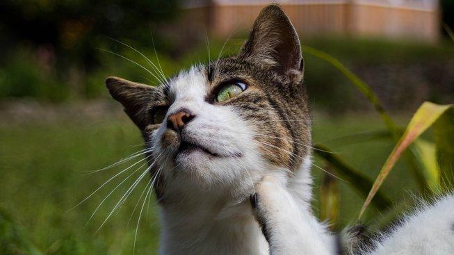 I kočky trpí na akné. Jak ho řešit?